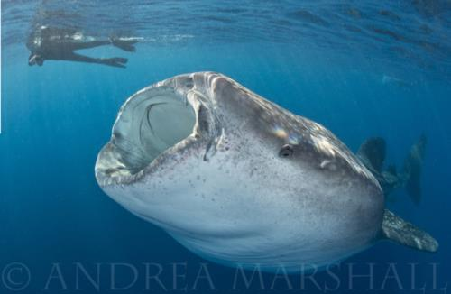 Citizen Science with Marine Megafauna Foundation!