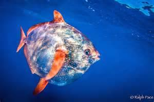 The Only Warm Blooded Fish (that we know of).