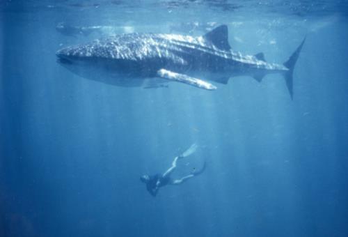 Whale Shark Diving Etiquette