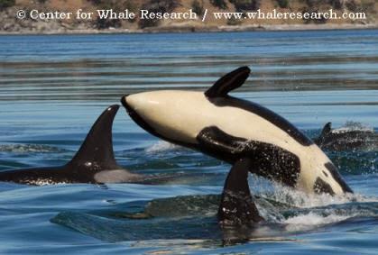 Captive Whale Shows: eco-tourism provides alternatives