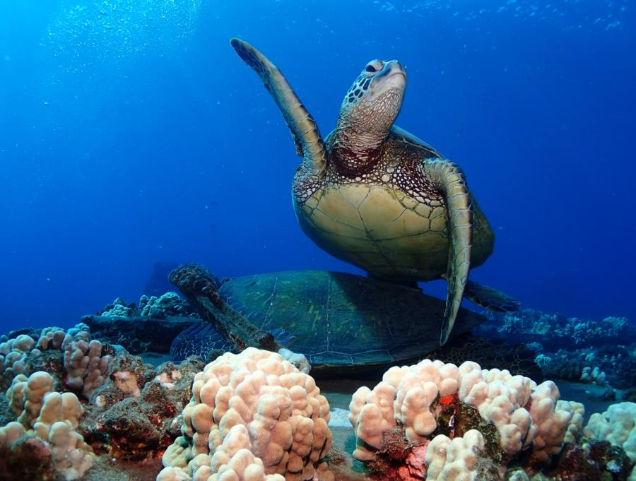 Mala Ramp (Lahaina Pier) - Mala Green Turtle