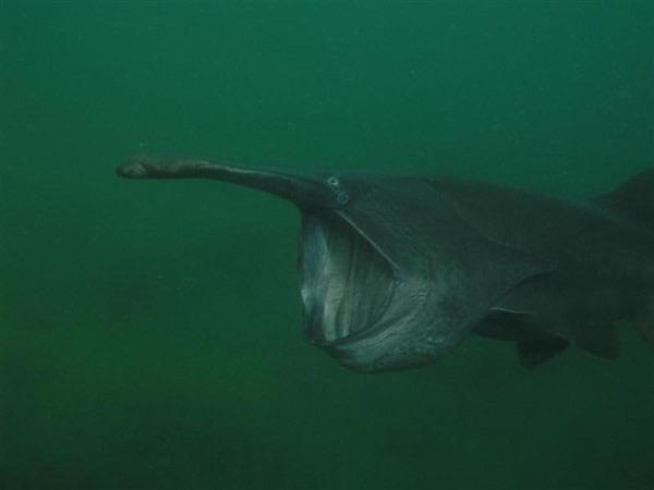 Haigh Quarry - One of three famous paddlefish