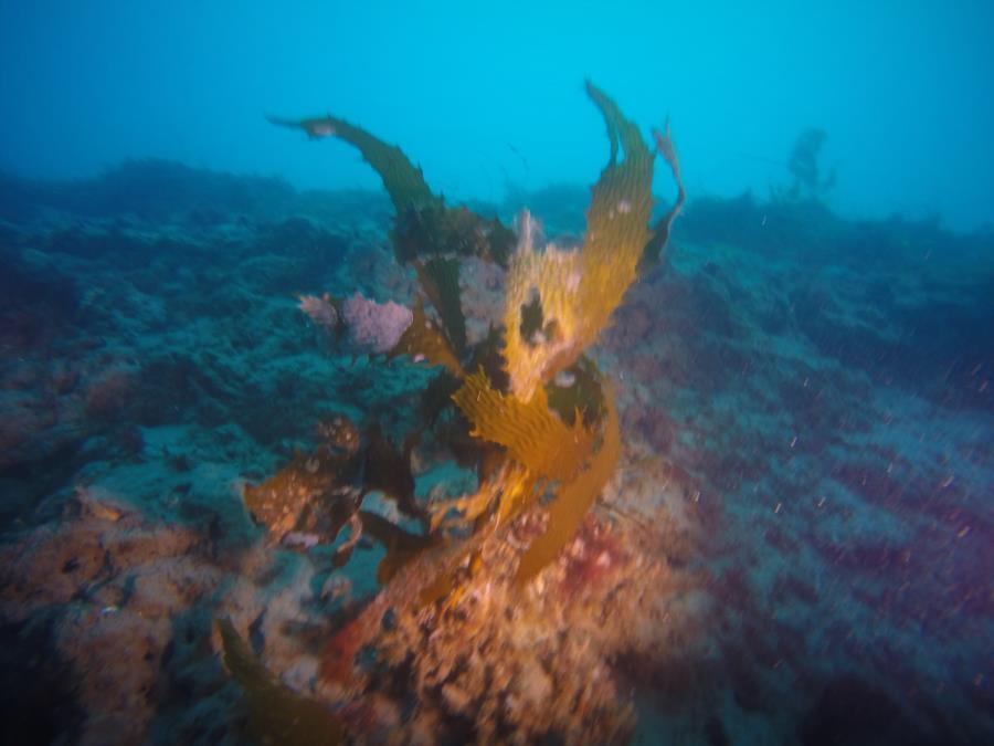 LaJolla Shores - Kelp