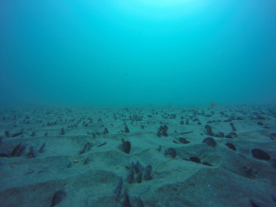 LaJolla Shores - Sand Dollars