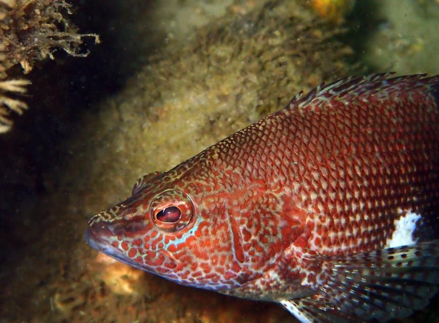 Destin Jetties - Belted Sandfish
