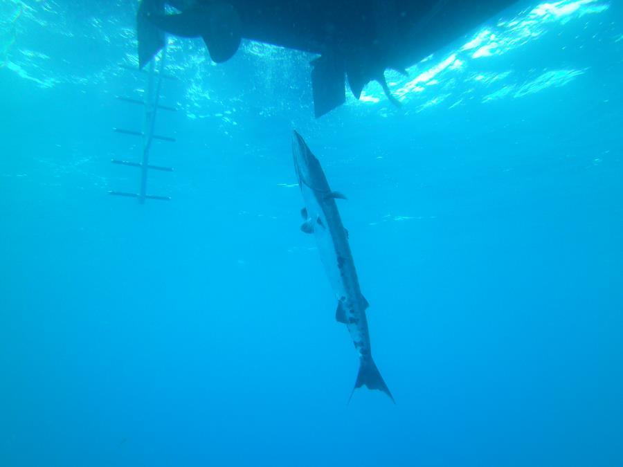 John D. Gill - Large barracuda under dive boat-John D. Gill wreck