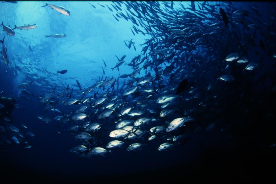 USAT Liberty - School of jack fish