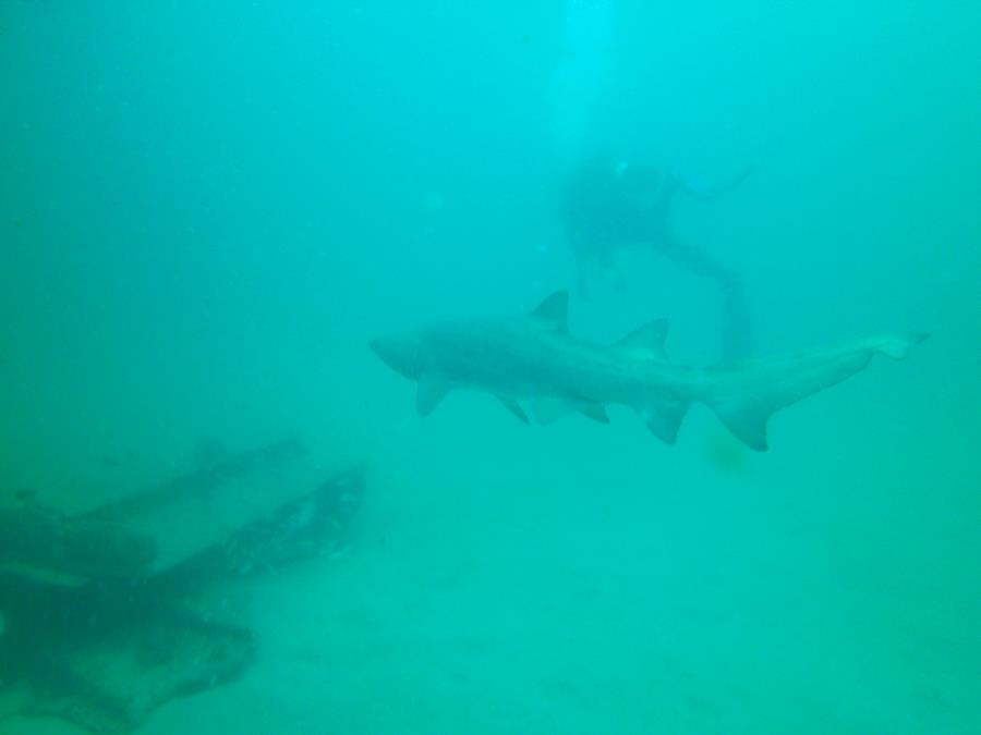 Hyde - Sand Tiger shark-Hyde wreck