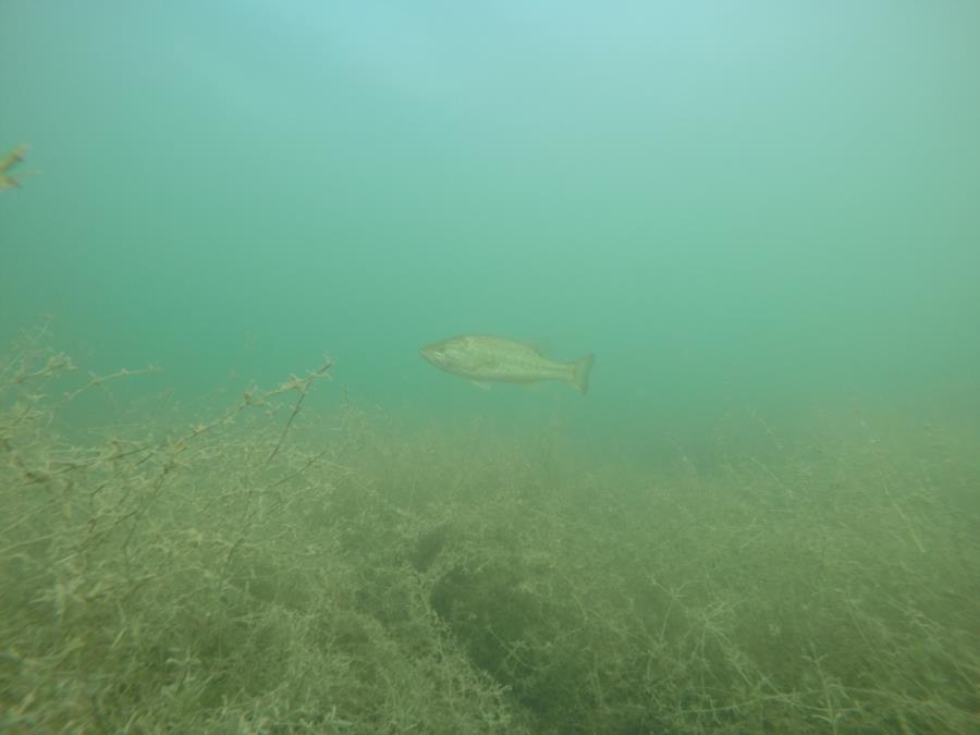 Wheeler Branch Lake - Fish