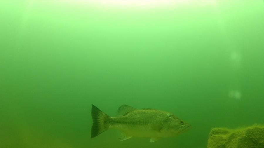 Wheeler Branch Lake - the notorious 15' striped bass