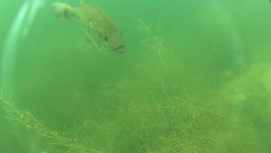 Wheeler Branch Lake - Big Striped Bass