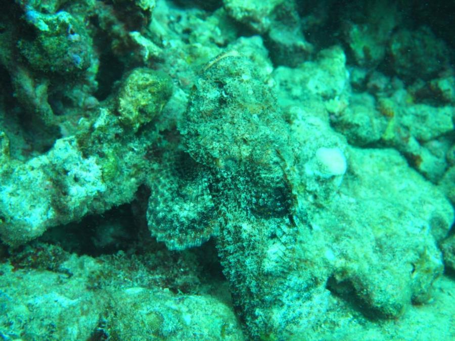 Koloa Landing - Scorpionfish