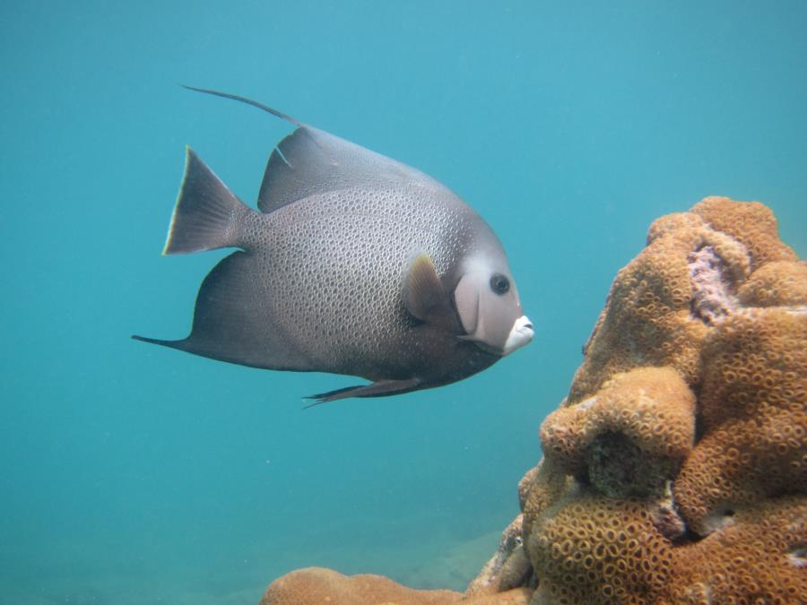 Datura Ave. aka Angliers Pier Reef? - Angel Fish