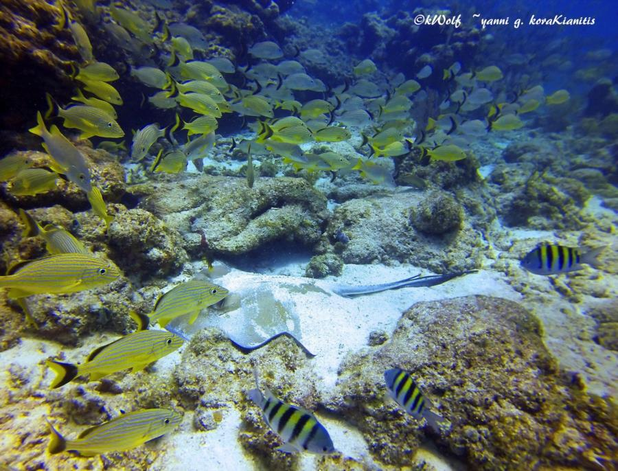 Eagle Ray Alley, Molasses Reef - stingray surrounded by a school of yellowtail snapper