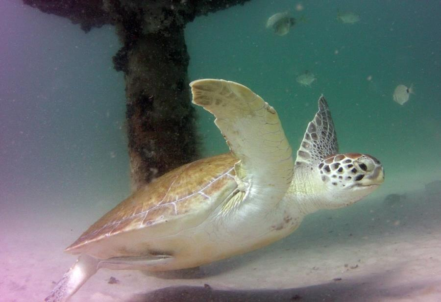 Navarre Marine Sanctuary - Sea Turtle