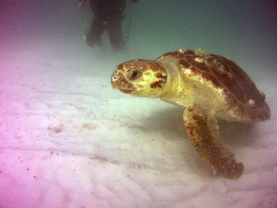 Navarre Marine Sanctuary - Turtle at Navarre Reef