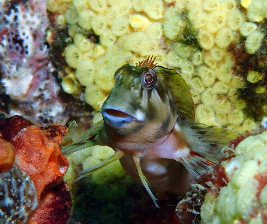 Navarre Marine Sanctuary - Molly Miller Blenny