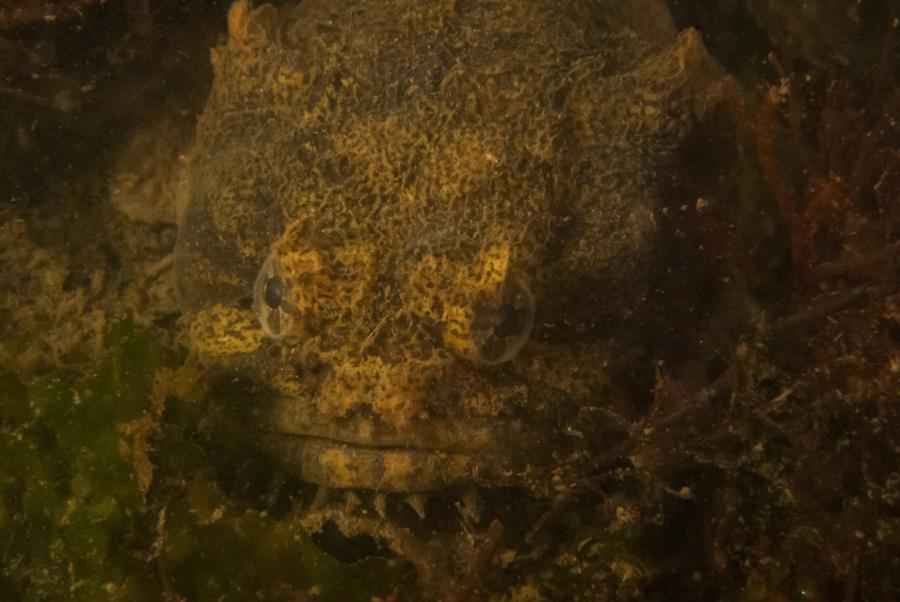 Maclearie Park, Shark River - Oyster Toadfish