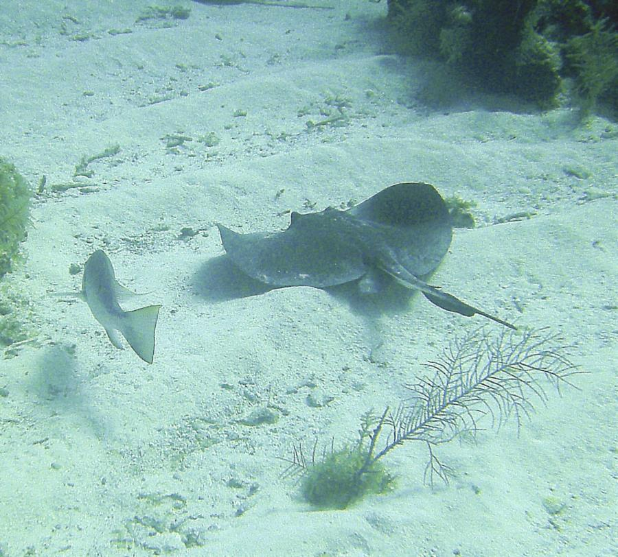 Bear's Paw - Swimming Stingray