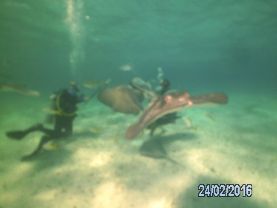 Bear's Paw - Ultimate 12 foot dive - Stingray City1
