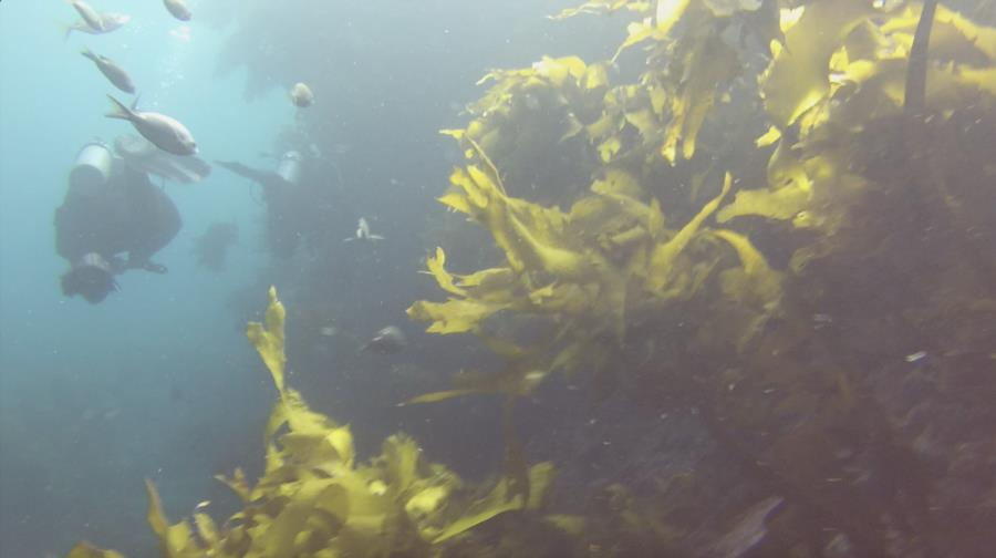 Poor Knights Islands - Kelp