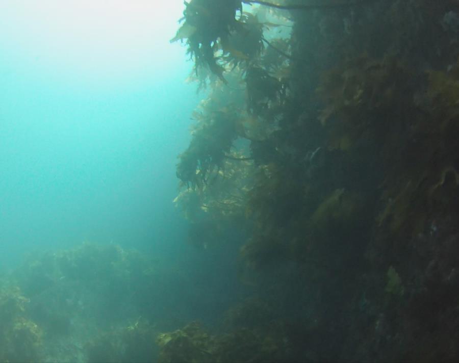 Poor Knights Islands - Sun Kelp