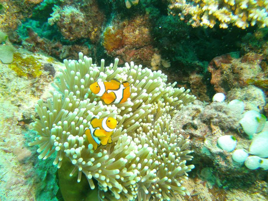 Great Barrier Reef- Port Douglas AUS - Nemo