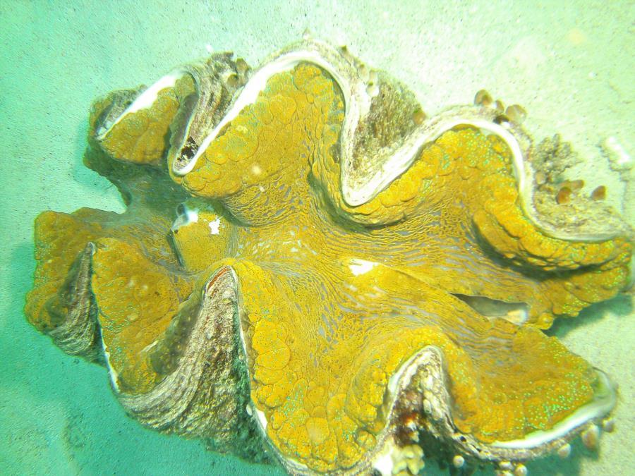Great Barrier Reef- Port Douglas AUS - large Clam
