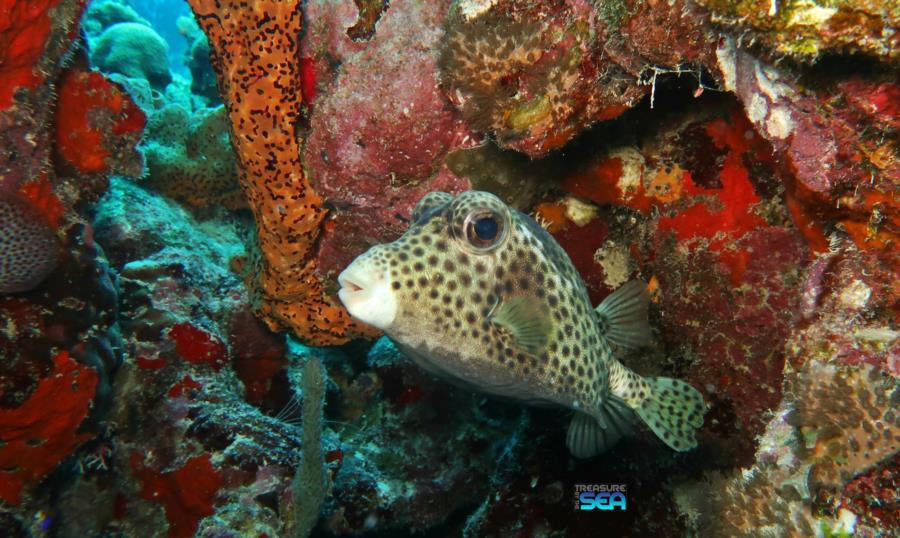 The Rock - Spotted Trunkfish