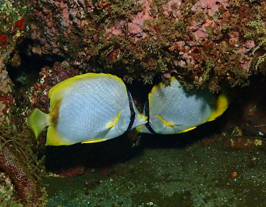 Destin Bridge Rubble - Butterflyfish pair