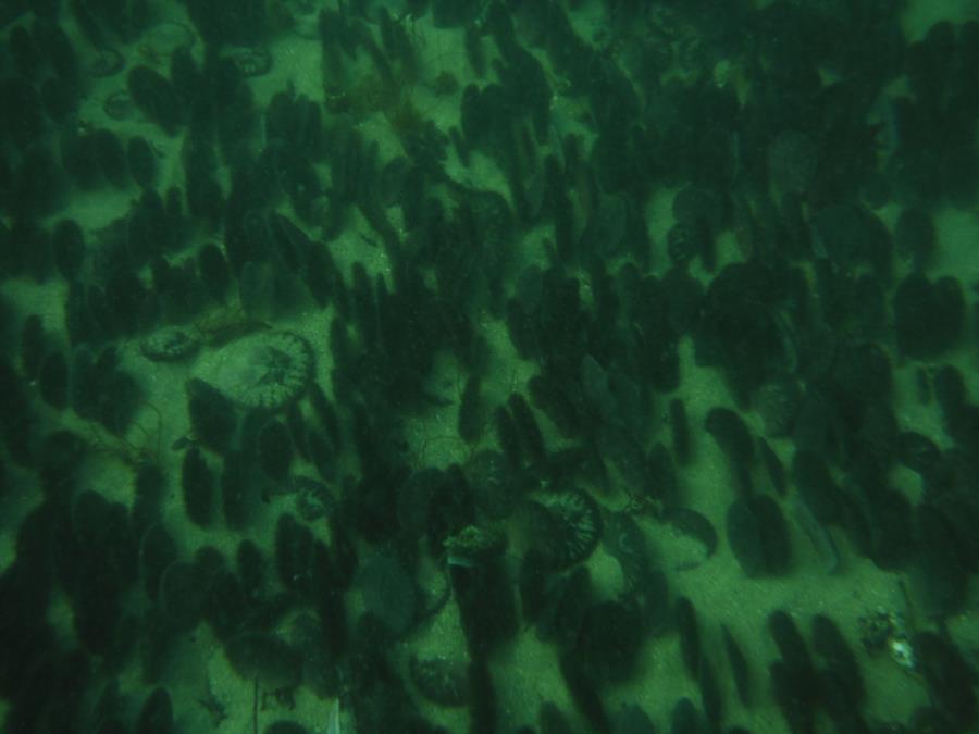 Breakwater Cove - More Sand Dollars