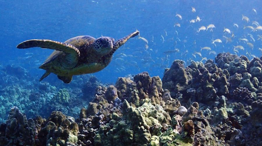 Ulua Beach - Green Sea Turtle