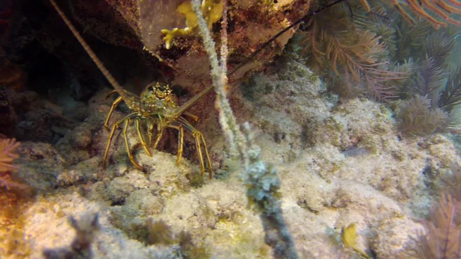 Lobster near Christ Of Abyss off Key Largo, FL