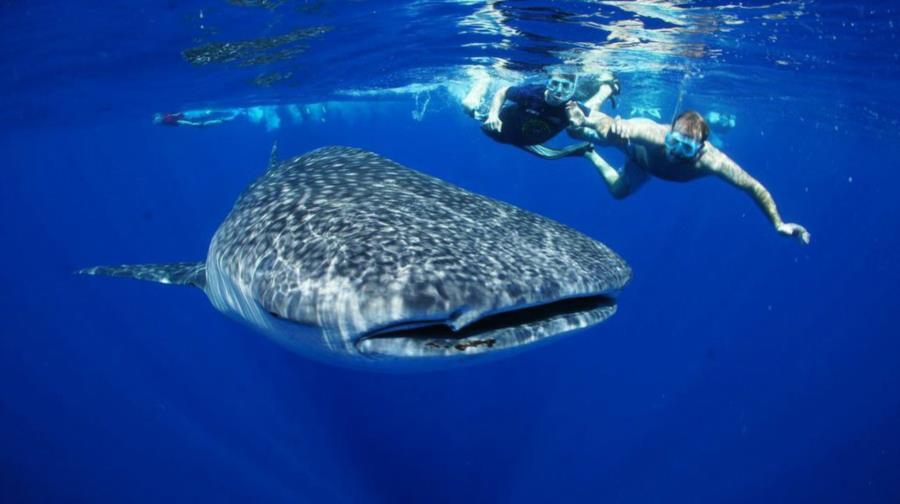 Whale shark bonanza
