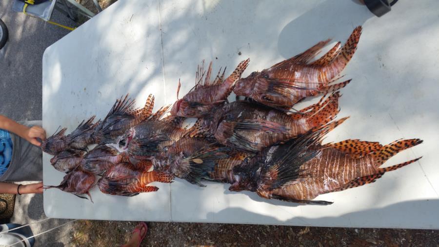 Pensacola Lionfish