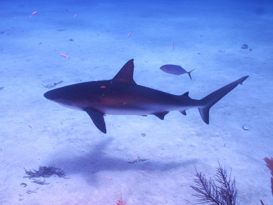Shark Belize