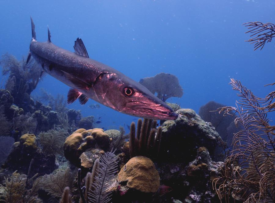 Barracuda Belize