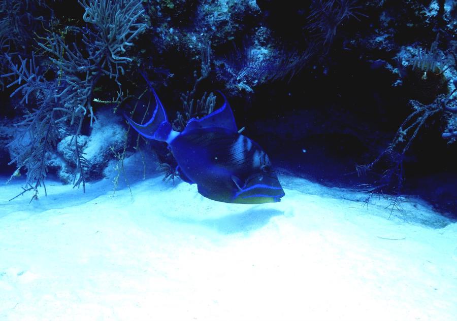 Trigger Fish Belize