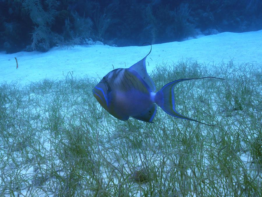 Trigger Fish Belize 2
