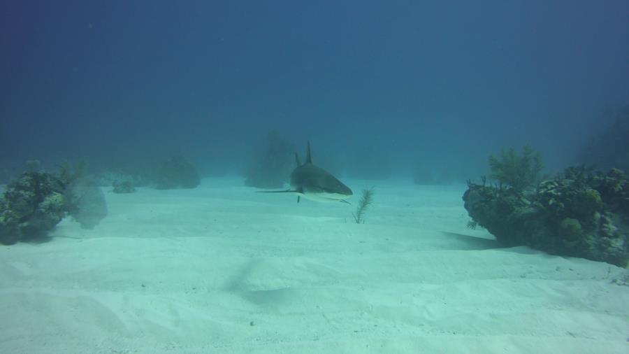 Nassau reef with shark