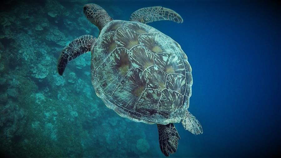 Turtle, Gab Gab Beach, Guam