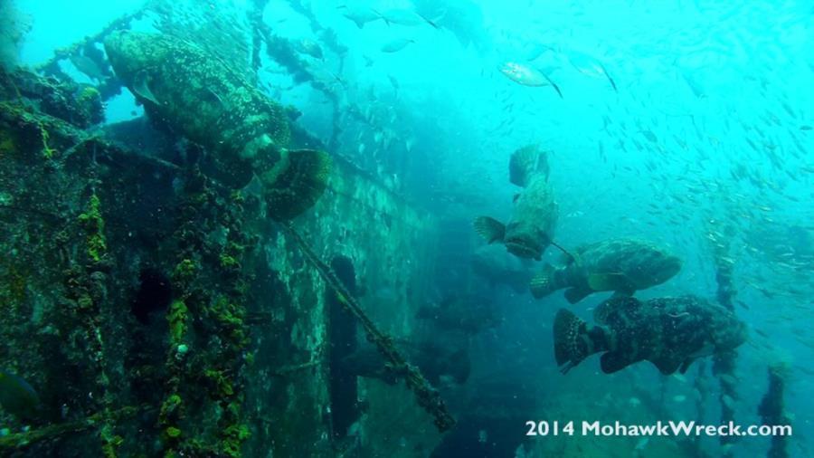 Goliath Grouper Aggregation - USCG Mohawk Dive 8-17-2014
