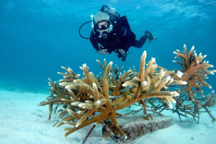 Staghorn Coral Planting Method