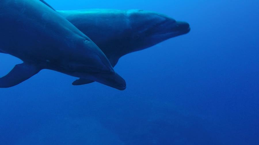 Socorro Island - Dolphins