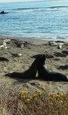 Elephant seals at California.