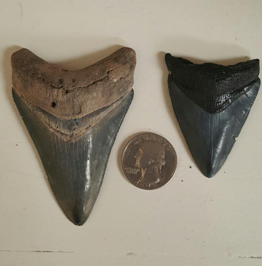 Megladon teeth from venice fl