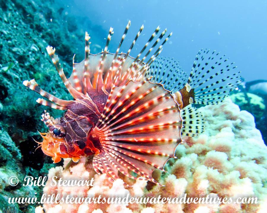 Lionfish in Anilao, Philippines