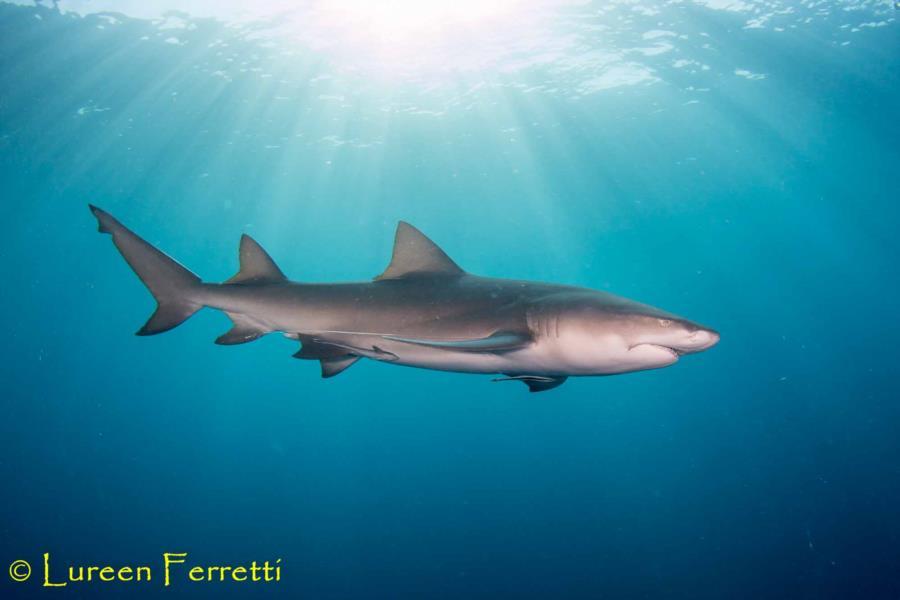 Lemon Shark catching some rays in Jupiter, FL