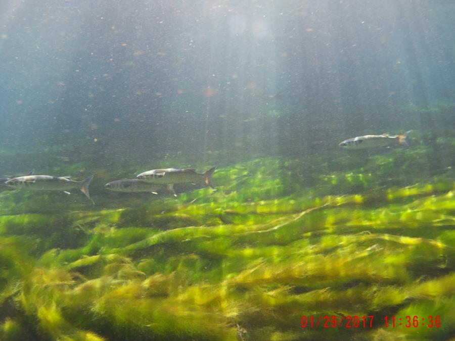 Chiefland Manatee Dive