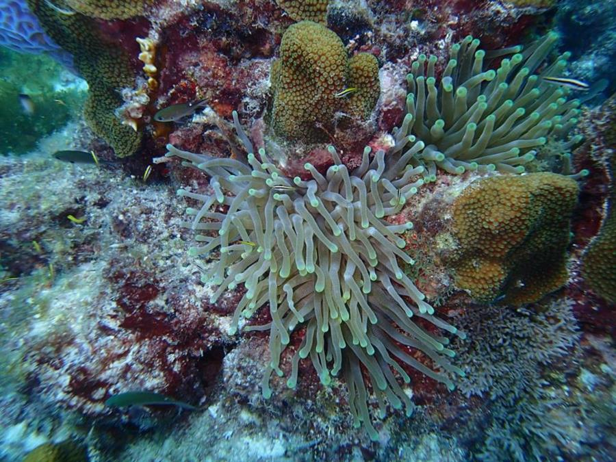 Sea anemone, coral, sponges and fishes in Aruba
